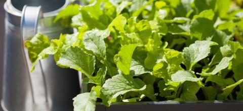 Jak uprawiać warzywniak w skrzyni?
