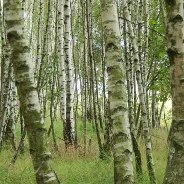 W brzozowym lesie echo pieśń niesienuci melodię,powtarza słowadziewczyna młodaW błękitnej sukni jak kolor niebatak lekko biegnieod drzewa do drzewaJedna jest brzozaona pamiętaoddech,szept cichysplecione ręceJuż widać z dalekatam przyszedł czeka...czekając w rozterce na brzozie dla niejnamalował serce...........................(tekst własny...chyba będzie korekta,coś mi nie pasuje w ostatnich wersach...może macie jakieś propozycje?)Pozdrawiam serdecznie:)