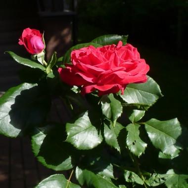 ...............i najpiękniejsza róża....................