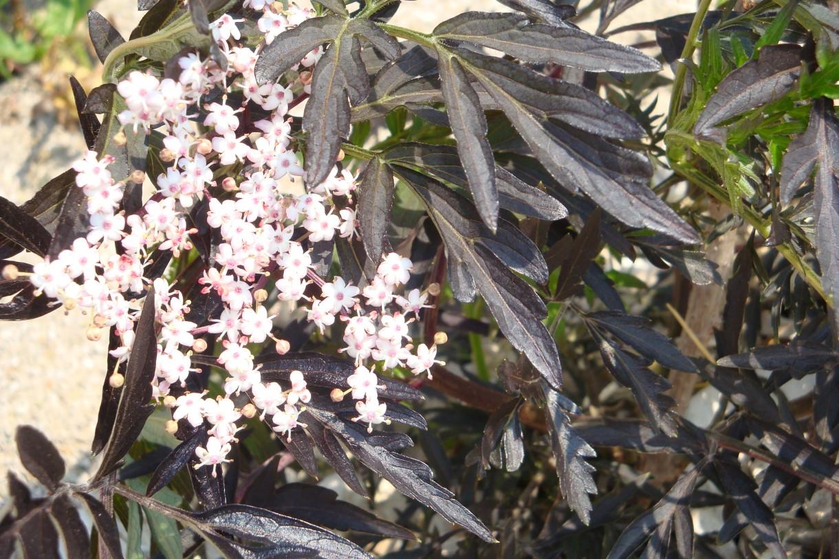 Pozostałe, Piękny czerwiec w ogrodzie - bez czarny,jest malutki a już wypuścił kwiat,ciemne prawie czarne liście mocno wystrzępione a kwiaty delikatnie różowe,piękna kombinacja