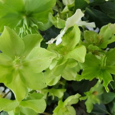 Dzisiaj niedziela właśnie wróciłam z zakupów w Centrum Ogrodniczym.Szaleństwo można dostać oczopląsu. Różne kwiaty różne gatunki i kolory. Chyba zostanę bankrutem kocham kwiaty i każdą sumkę bym na nie przeznaczyła. Ale taka jest wiosna zawraca nam w głowie i to bardzo.:) :)