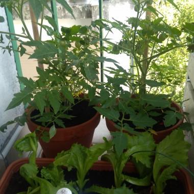 pomidory i sałata
