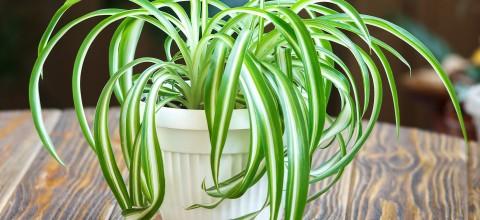 Zielistka - niewymagająca roślina. Rozmnażanie i przesadzanie