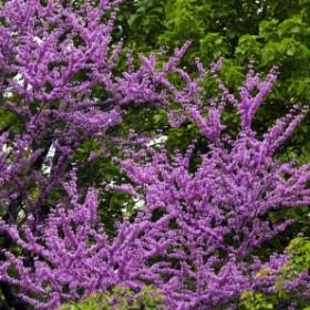 Jedno z najpiękniejszych wiosennych drzew - judaszowiec