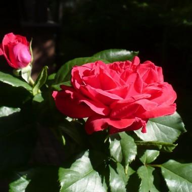 .............w końcu róż mam pod dostatkiem ...............teraz wszystkie kwitną i cieszą ...............i pachną.................