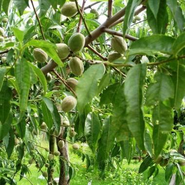 owoce migdałowe dojrzewające-sierpień