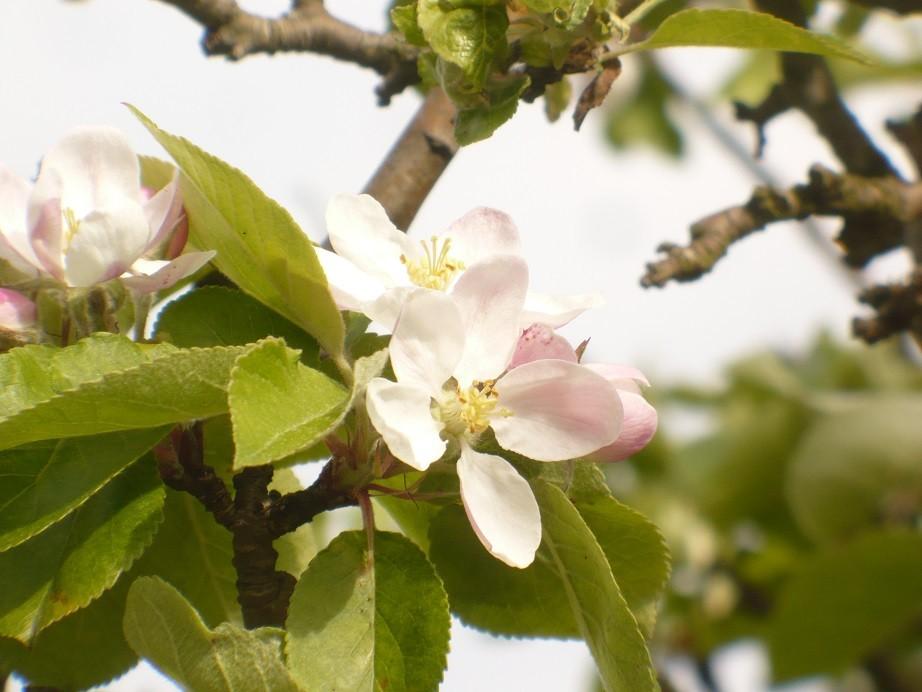 Pozostałe, Majowe love................. - ................i kwiaty jabłoni................