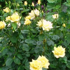 Czerwiec słońce róże i truskawki