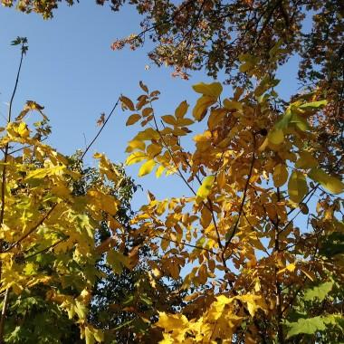 ..............i złote liście............