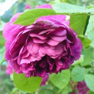 .................i róża ..............za chwilę zacznie się osypywać.................