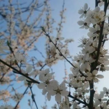 Wiosna cudnie rozkwita i pachnie  :)))