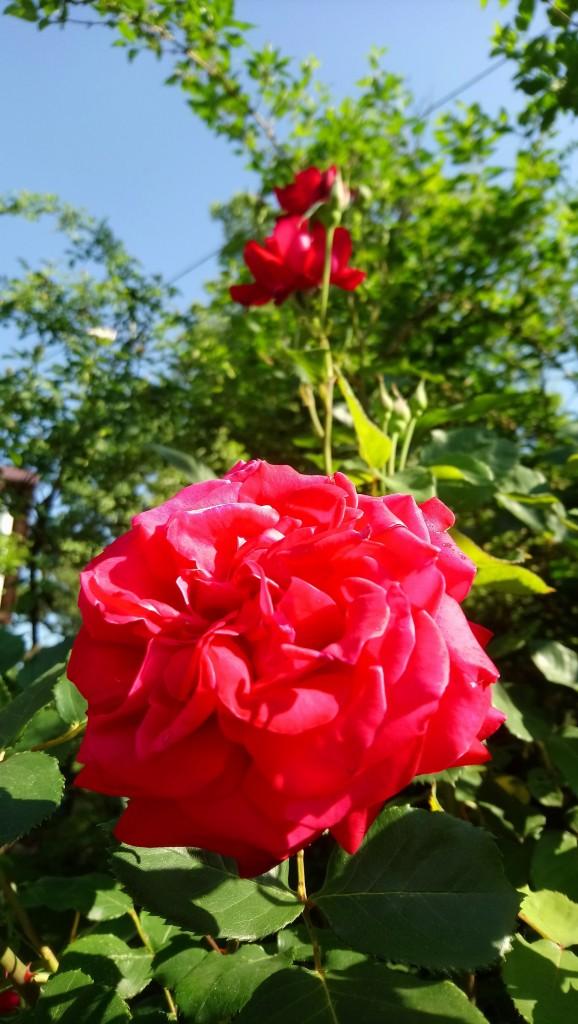 Rośliny, Czerwcowe róże ................. - ...........najpiękniejsza...........roża w ogrodzie.......