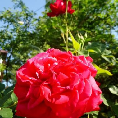 Czerwcowe róże .................