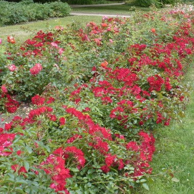 ..............i 1000 róż...............