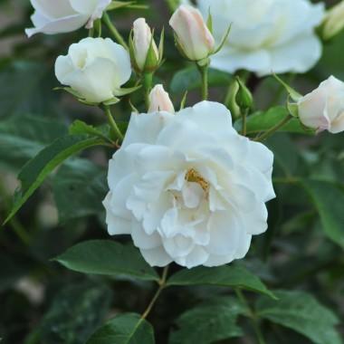 moja pierwsza róża pnąca :)
