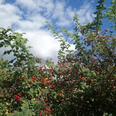 ...............i różany krzew................