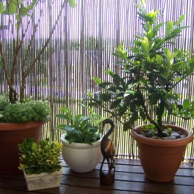 Od lewej - w największej donicy drzewo wykopane sprzed domu jako mały krzaczek (teraz ma 3 lata), pod nim byliny zakupione w Lidlu, w małej prostokątnej doniczce roślinki uratowane z mojej pracy przed wyrzuceniem, w doniczce białej funkia, obok wiecznie zielone drzewko które ku mojej radości puściło tej wiosny wiele pięknych młodych pędów