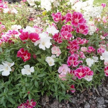 Godecja, mieczyki i hortensja.Zachwycająca, rozweselająca i bujnie kwitnąca. Taka jest godecja. Dwa tygodnie temu kształtowała jeszcze swoje pąki a teraz rośnie jak szalona.Mieczyki już kwitną. W tym roku postawiłam na kolor łososiowy. Pokusiłam się i zerwałam dwie sztuki do domu:)https://www.facebook.com/wmoimdomuiogrodzie/Hortensja póki co jeszcze kremowa, ale już powoli się różowieje aby ostatecznie pokazać swoje piękno.