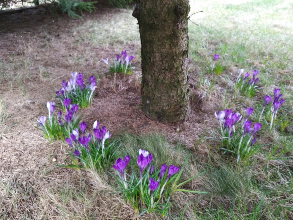 Ogród, Wiosenne ujęcia z ogrodu - na jesień posadzone z córcią teraz cieszą oczy