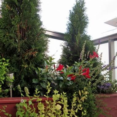 Skrzynia wykonana przez mojego tatę:) zasadziliśmy w niej 2 tuje, pośrodku lawendę, szałwię, bakopę i sundaville. Po bokach 2 rodzaje niskich krzewów: tawuła japońska i trzmielina.