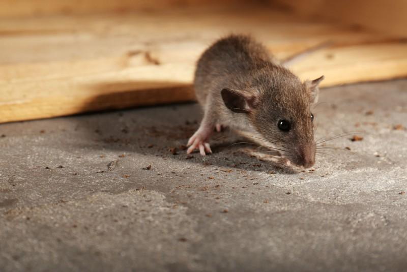 Jak pozbyć sie myszy z domu? Najskuteczniejsze sposoby