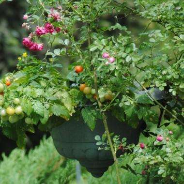 Są też pomidorki :) W tym roku obficie owocują i są bardzo słodkie :)