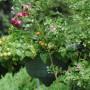 Pozostałe, Moje domowe żródło witamin - Są też pomidorki :) W tym roku obficie owocują i są bardzo słodkie :)