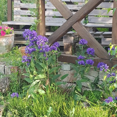 W moim ogrodzie zakwitła lawenda , zrobiło się cudownie fioletowo aż miło popatrzeć jak ogród prezentujesię w pełnym rozkwicie. Wrzucam kilka zdjęć lawedndowych piękności i  zakątki ogrodu. Zapraszam !!!:):)