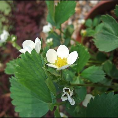 krzaczek truskawek kwitnący wczesną wiosną w ogrodzie