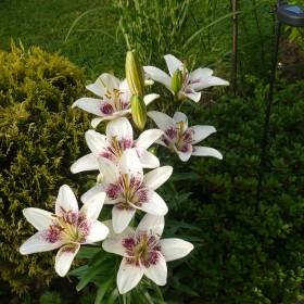 kawalek ogrodka i lilie