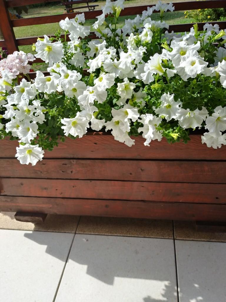 Rośliny, Lato w moim domu - Uwielbiałam biale petunieCzas