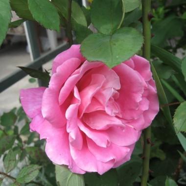 Moje pierwsze róże