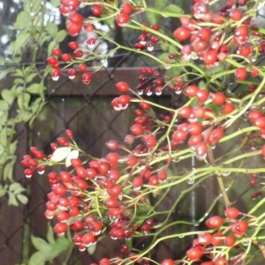 .................i dzika róża w kroplach  deszczu ..................