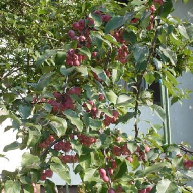 ..............i rajska jabłoń..............