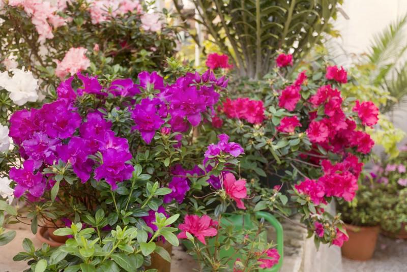 Azalie japońskie_kwiaty fiotelowe_i_różowe