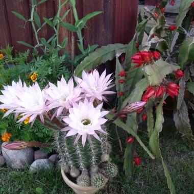 Kwiatki z mojej rabatki