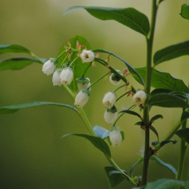 Borówka kwitnie uroczo :)