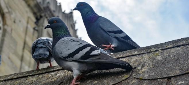 Poradnik: Jak się pozbyć gołębi z balkonu