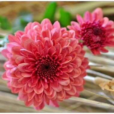 ..że .kwiatów coraz to mniej, ogródki pustoszeją.Oj ciężko będzie..W Webster (15 tys,mieszk.) jest tylko jedna kwiaciarnia z b.drogimi bukietami. Ludzie kupują kwiaty w dużych sklepach ze specjalnymi stoiskami. Większy wybór tylko przed wszelakimi Świetami.W tym roku nie zasuszyłam roŚlin..z wyjątkiem kilku gałązek z niebieskim przegrzanem. Fotografować można wszystko,ale jak na dworze 7 stop.C i silny wiatr....nie bardzo ma się ochotę na spacer. Ale od czego własne pomysły...Dzisiaj kilka zdjęć  z b. prostymi aranżacjami..Tak dla zabawy..