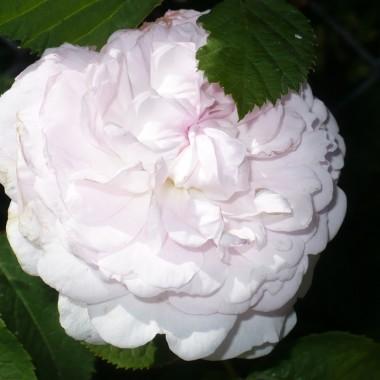 ................i róża bladoróżowa...............