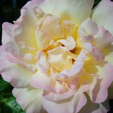 ..............i róża wielokolorowa.............