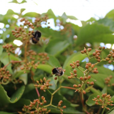 Pszczoły mają raj wsród dzikiego winogrona.