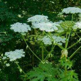 Uwaga na trujące rośliny