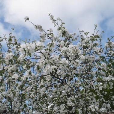 ............i kwitnące jabłonie..............