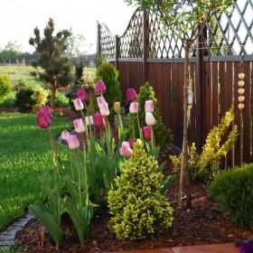 Wiosna - tulipany