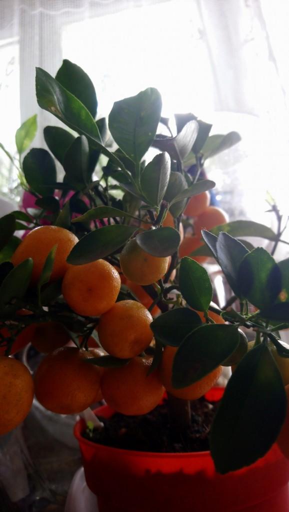 Rośliny, Czerwcowe róże ................. - ................i mandarynka w doniczce.............