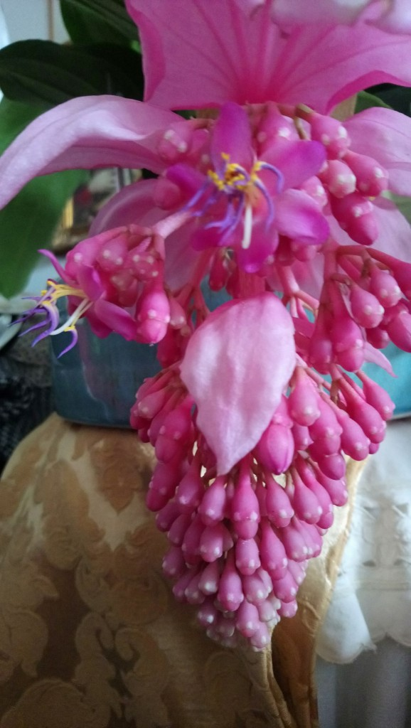 Rośliny, Czerwcowe róże ................. - ..............i medinilla kwitnąca...............