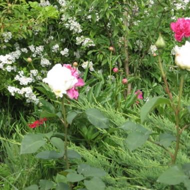 Iglaki   ,  róże    rosną    razem     super   .
