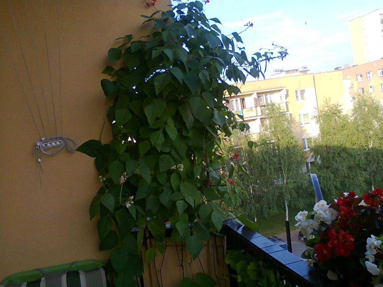 Pozostałe, balkon - Fasola ozdobna ładnie wyglądała, ale była oblepiona mszycami, a do tego bardzo śmieciły kwiatki fasoli - więc wyrzuciłam.