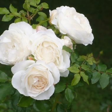 .............i kolejna róża.............